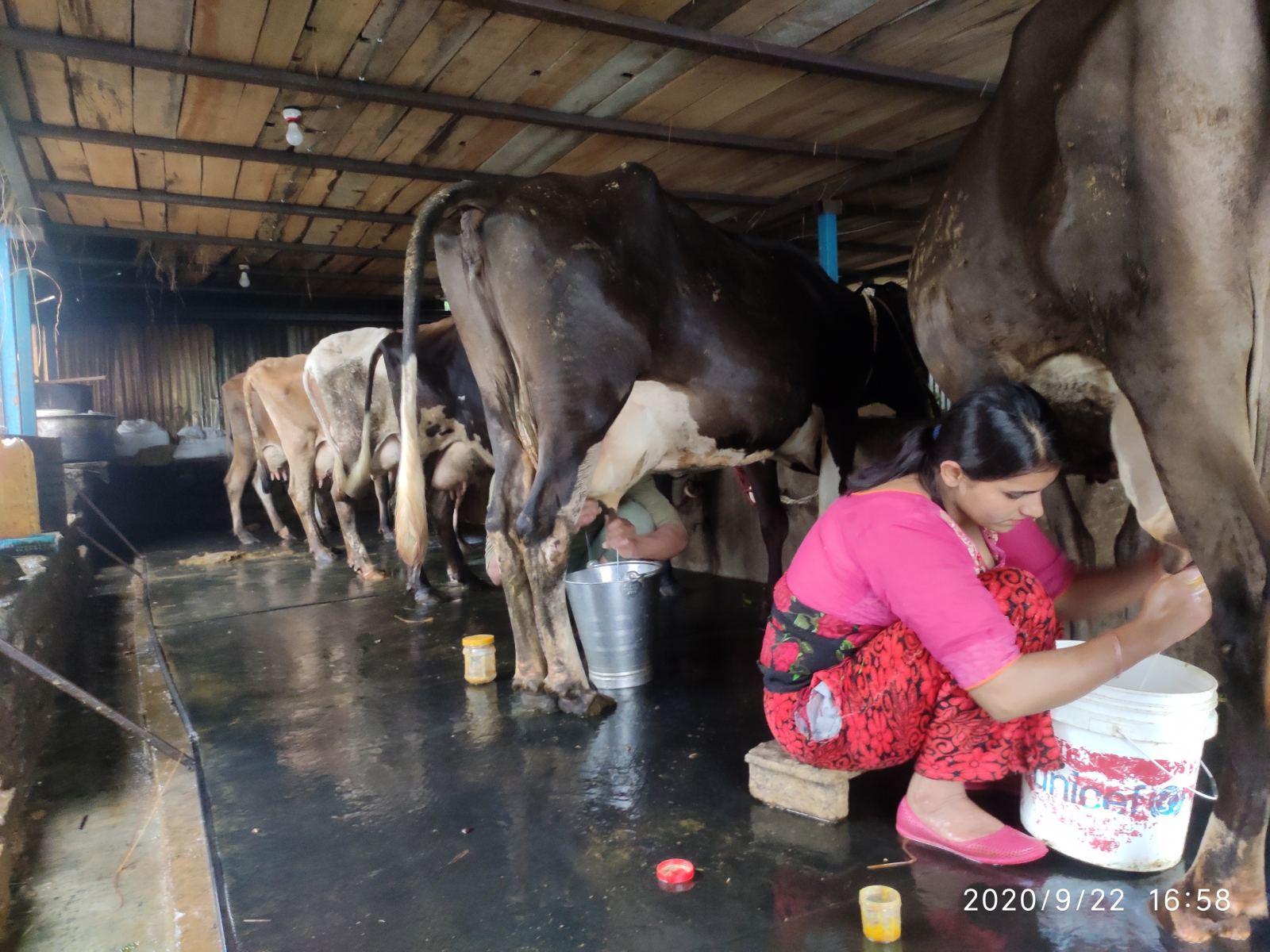 पशुपालनमा आकर्षित हुँदै दक्षिण ललितपुरका किसान